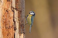 Blaumeise, Blau-Meise, Meise sucht in morschem Baumstamm nach Nahrung, Cyanistes caeruleus, Parus caeruleus, blue tit