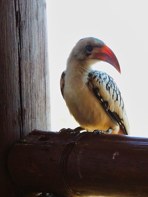 Hornbill looking for breakfast at Samburu Simba