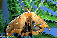 LE41-034a  Polyphemus Moth - adult male newly emerged from cocoon, inflatingw wings - Antheraea polyphemus