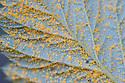 Orange urediniospore pustules of raspberry rust (Phragmidium rubi-idaei) on the underside of a leaf, mid October.