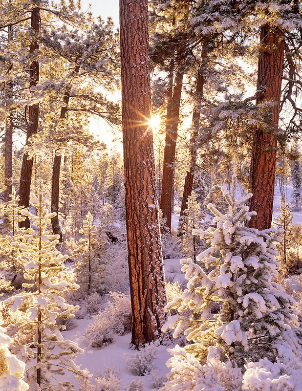 Snow and sunrise on ponderosa pine trees with sunburst. Fremont National Forest, Oregon.
