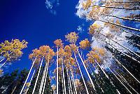 Aspen Trees in Autumn Colours, British Columbia, Canada