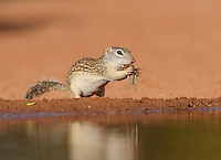 Mexican Ground Squirrel (Spermophilus mexicanus), adult eating grasshopper, South Texas, USA