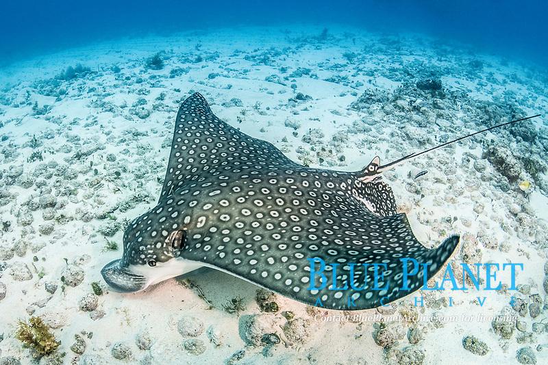spotted eagle ray, Aetobatus narinari, Isla Muejeres, Mexico, Gulf of Mexico, Atlantic Ocean