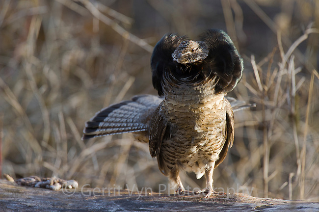 """Male Ruffed Grouse (Bonasa umbellus) displaying neck """"ruff"""". The ruff is most often displayed once a female has been attracted by the males drumming and is present. Okanogan County, Washington. April."""