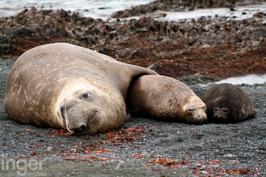 Southern Elephant Seal Family on Macquarie Island, Antarctica