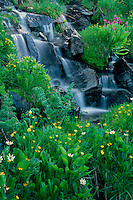 Marshmarigold and Parry's primrose<br /> Ruby Range<br /> Gunnison National Forest<br /> Rocky Mountains, Colorado
