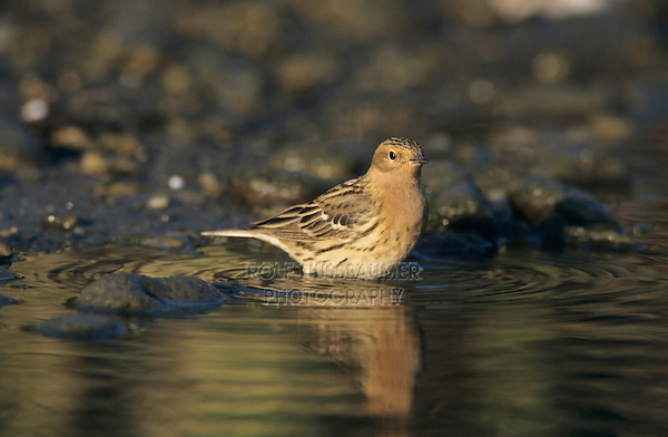 Red-throated Pipit, Anthus cervinus, male bathing, Samos, Greek Island, Greece, May 2000