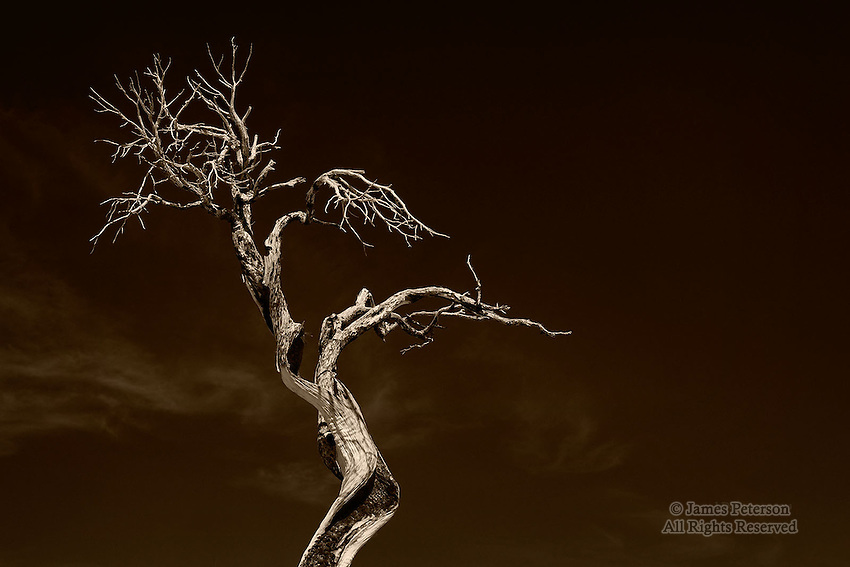 Juniper Tree after Wildfire, Mojave Desert, California