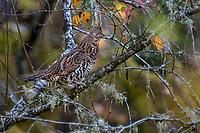 Ruffed Grouse (Bonasa umbellus) in Pacific Northwest. Fall.