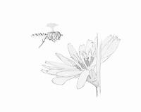 Cichorei (Cichorium intybus)