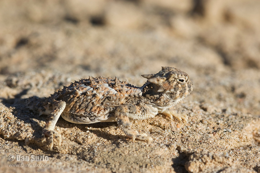 Desert horned lizard, Phrynosoma platyrhinos, Red Rock Canyon State Park, California