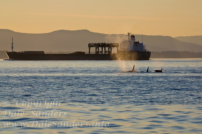 Killer Whales (Orcinus orca) in Haro Strait  on the boundary between Washington and British Columbia, have to share the waters with shipping traffic and boaters.