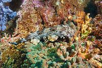 ornate wobbegong, Orectolobus ornatus, juvenile. Julian Rocks, Byron Bay, New South Wales, Australia, South Pacific Ocean