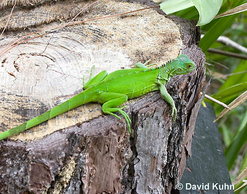 0625-1111  Young Green Iguana (Common Iguana), Belize, Iguana iguana  © David Kuhn/Dwight Kuhn Photography