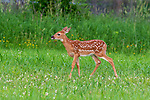 White-tailed fawn in a northern Wisconsin meadow.