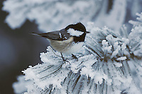 Coal Tit (Parus ater), adult perched on frost covered Swiss Stone Pine by minus 15 Celsius, St. Moritz, Switzerland, Europe