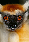 Golden-crowned or Tattersall's sifaka, indigenous to Madagascar. (captive)
