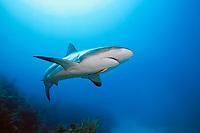 Caribbean reef shark, Carcharhinus pereziii, with live sharksucker, or slender sharksucker, Echeneis naucrates, Gardens of the Queen, Jardines de la Reina National Park, Cuba, Caribbean Sea, Atlantic Ocean