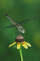 Blue Dasher, Pachydiplax longipennis, female on Clasping-leaved Coneflower(Dracopis amplexicaulis),  Willacy County, Rio Grande Valley, Texas, USA, June 2006