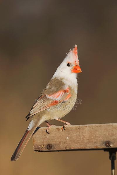 Northern Cardinal (Cardinalis cardinalis), leucistic female perched on feeder, Bandera, Hill Country, Texas, USA