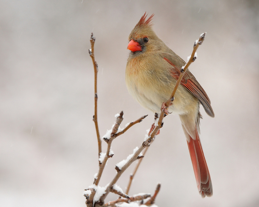 Northern Cardinal female during a snowstorm.