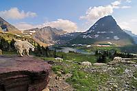 Mountain Goats (Oreamnos americanus).  Glacier National Park, Montana.  Summer.