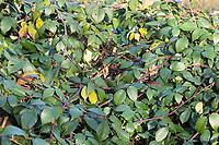 Brombeere, Echte Brombeere, Ranke, Ranken, rankend, Brombeerranke, Brombeerranken, Rubus fruticosus agg., Rubus sectio Rubus, blackberry, bramble, ronce
