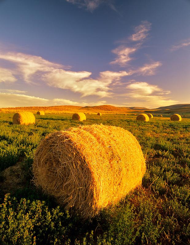 Alfalfa bales. Note second growth beneath bales. Malheur County near Jorden Valley, Oregon.