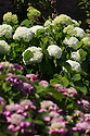 """20/06/16<br /> <br /> Hydrangea arborescens 'Annabelle' (The white one, pink one unknown)<br /> <br /> Tucked away in a hidden walled garden of an inner-city public park, the UK's largest hydrangea collection is putting on its best display ever, following the sudden heatwave after several months of rain.<br /> <br /> Full story:  <br /> <br /> https://fstoppressblog.wordpress.com/britains_biggest_hydrangea_garden/<br /> <br /> .And what used to be a flower traditionally associated with """"granny's cottage garden"""" is blooming back into fashion thanks to the rising trend for all things shabby chic and retro-styled.<br /> <br /> There are more than 600 individual hydrangea bushes with a dozen or so different varieties, planted in Derby's Darley Abbey park, formerly part of an estate belonging to the nearby cotton mills.<br /> <br /> All Rights Reserved, F Stop Press Ltd. +44 (0)1773 550665"""