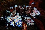 A pair of Harlequin shrimp , Hymenocera elegans, eating a starfish, Scuba Seraya, Tulamben, Bali, Indonesia, Pacific Ocean