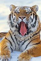 Siberian Tiger (Panthera tigris) yawning.