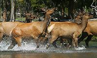 Elk splash through the Firehole River.