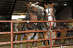 A team of draft horses at rail in the arena at Cheshire Fair in Swanzey, New Hampshire USA