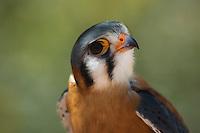 Male kestrel, Falco sparverius. Arizona-Sonora Desert Museum, Tucson, Arizona