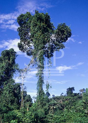 Para, Brazil. Brazil nut tree (Bertholetia excelsa) left standing with low secondary vegetation.