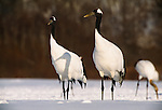 Japanese cranes, Hokkaido, Japan
