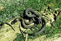 1R01-008z  Red-bellied Snake - newly born young - Storeria occipitomaculata