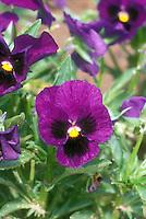 Viola 'Universal Violet' pansy