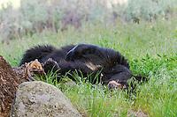 Wild, adult, Black Bear (Ursus americanus) resting/sleeping.  Western U.S., spring.