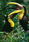 Chestnut-Mandibled Toucans, Panama