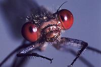Großes Granatauge, Grosses Granatauge, Männchen, Portrait, Porträt, Erythromma najas, Agrion najas, Red-eyed Damselfly, Large Redeye, male