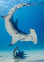 great hammerhead, Sphyrna mokarran, South Bimini Island, Bahamas, Caribbean Sea, Atlantic Ocean
