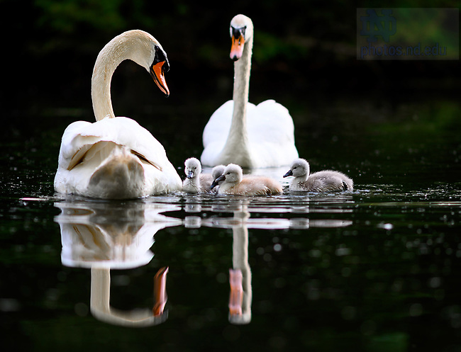 June 12, 2021; Swans and cygnets on Saint Mary's Lake (Photo by Matt Cashore/University of Notre Dame)