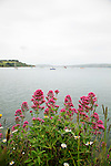 Red Valerian-looking towards Otago Peninsula from Port Chalmers, New Zealand