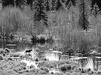 Autumn is a great time for moose viewing in the Tetons.<br /> <br /> This image is also available in color.