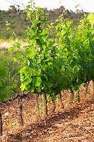 Chateau de Lascaux, Vacquieres village. Pic St Loup. Languedoc. Syrah vine variety. Tourtourelle area. France. Europe. Vineyard.