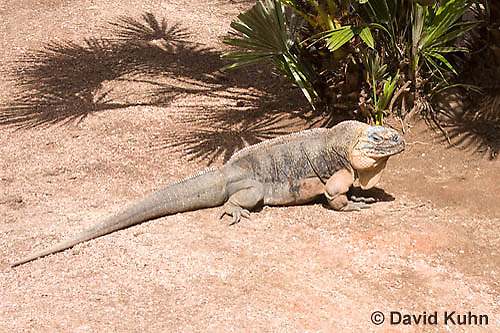 0629-1108  Exuma Island Iguana (Northern Bahamian Rock Iguana), Bahamas, Cyclura cychlura figginsi  © David Kuhn/Dwight Kuhn Photography