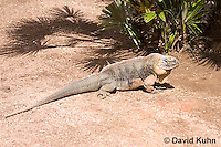 0629-1108  Exuma Island Iguana (Northern Bahamian Rock Iguana), Bahamas, Cyclura cychlura figginsi  © David Kuhn/Dwight Kuhn Photography