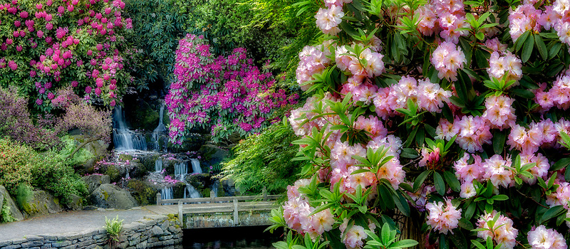 Rhododendrons, pond and waterfalls with small bridge. Crystal Springs Rhododendron Gardens, Oregon